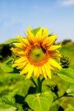 Girasol joven de la planta floreciente contra el cielo Fotos de archivo libres de regalías