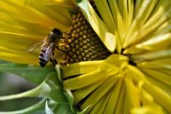 Girasol a la abeja Imagen de archivo libre de regalías