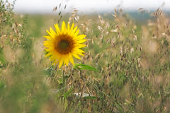 Girasol (lat Helianthus) en el campo de maíz, Palatinado, Alemania Imagen de archivo