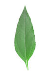 Girasol leaf. Colorful girasol leaf isolated on white background Stock Photos