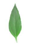 girasol liść Zdjęcia Stock