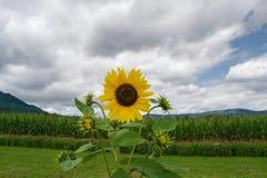 Girasol, maíz, montañas y cielo Imagenes de archivo
