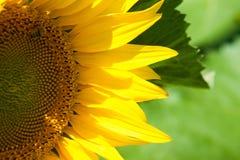 Girasol maduro en el cielo azul Foto de archivo libre de regalías