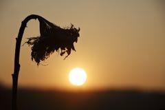 Girasol marchitado Fotografía de archivo libre de regalías