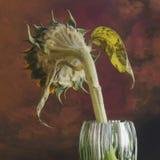 Girasol marchitado Imagen de archivo libre de regalías