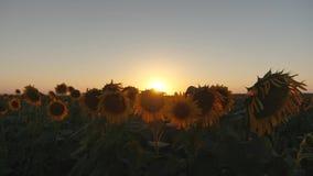 girasol orgánico de la cosecha Flores hermosas del girasol en un campo en los rayos de una salida del sol hermosa Primer metrajes