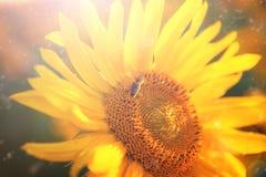 Girasol orgánico del disco de Corolla en campo de la agricultura Foco selectivo Foto de archivo libre de regalías