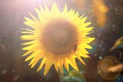 Girasol orgánico del disco de Corolla en campo de la agricultura Foco selectivo Imágenes de archivo libres de regalías