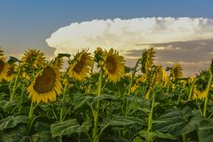 Girasol, paisaje de Pampa, la Argentina fotos de archivo