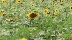 Girasol que balancea en el viento Girasoles amarillos Flores con las semillas Campo de girasoles amarillos metrajes
