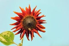Girasol que florece contra un cielo azul Imagenes de archivo