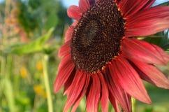 Girasol rojo de Borgoña que hace frente al sol Imagen de archivo