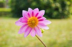 Girasol rosado Foto de archivo libre de regalías