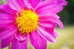 Girasol rosado Foto de archivo