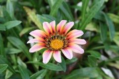 Girasol Rose Imagen de archivo