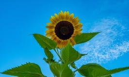 Girasol soleado Fotos de archivo