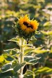 Girasol solitario en un fondo verde con una abeja que recoge el polen Imagen de archivo libre de regalías