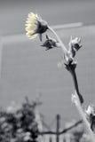 Girasol urbano Fotografía de archivo libre de regalías