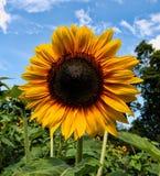 Girasol, verano tardío en Nueva Inglaterra Imagen de archivo libre de regalías
