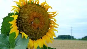 Girasol visitado por un abejorro Imagen de archivo libre de regalías