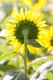 Girasol (vista trasera del girasol floreciente) Fotografía de archivo libre de regalías