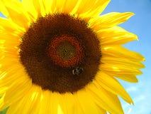 Girasol y abeja Fotos de archivo