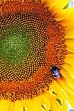Girasol y abeja. Fotos de archivo libres de regalías