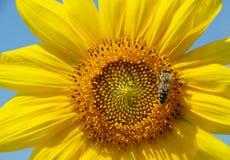 Girasol y abeja Foto de archivo