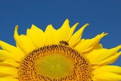 Girasol y abeja Fotografía de archivo libre de regalías