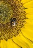 Girasol y abeja Foto de archivo libre de regalías