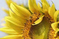 Girasol y abeja Imagen de archivo