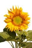 Girasol y abeja 1 Imagen de archivo libre de regalías
