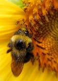 Girasol y abeja 3 Foto de archivo