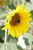 Girasol y abeja Imagenes de archivo