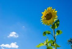 Girasol y abeja Imagen de archivo libre de regalías