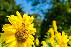 Girasol y abeja con el árbol verde y el cielo azul Imágenes de archivo libres de regalías