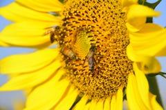 girasol y abeja con el cielo azul Fotos de archivo