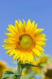 Girasol y abeja contra el cielo azul Imagen de archivo libre de regalías