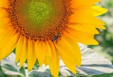 Girasol y abeja de trabajo Imagenes de archivo