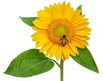 Girasol y abeja de trabajo aislados en el fondo blanco Imagen de archivo libre de regalías