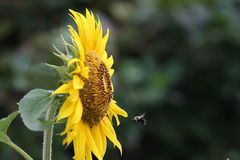 Girasol y abeja del vuelo Foto de archivo