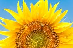 Girasol y abeja en un fondo del cielo azul Imagen de archivo libre de regalías
