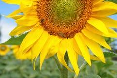 Girasol y abeja florecientes coloridos Fotos de archivo libres de regalías