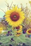 Girasol y abeja hermosos Fotos de archivo