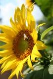 Girasol y abeja macros Imágenes de archivo libres de regalías
