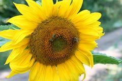 Girasol y abejas Imagen de archivo