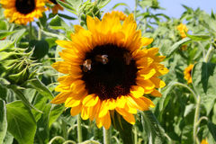 Girasol y abejas Foto de archivo