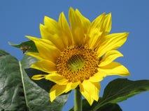 Girasol y abejas Fotografía de archivo libre de regalías