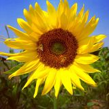 Girasol y abejas Foto de archivo libre de regalías