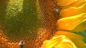 Girasol y abejas metrajes